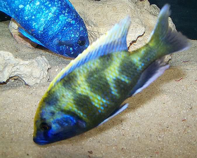 Betta Fish Fin Rot | Fin Rot Symptoms Causes And Treatment The Pet Step