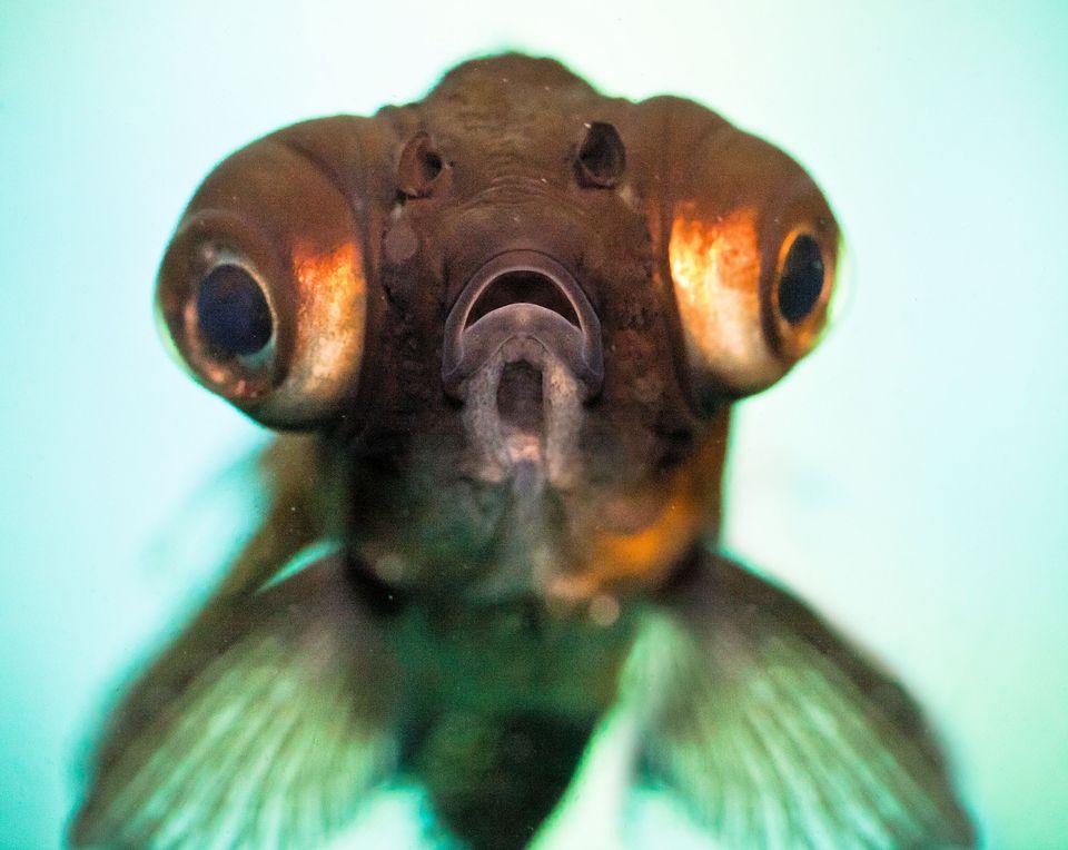 Popeye Catalufa |Fish With Popeye