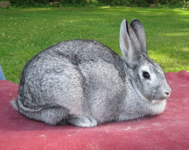 Giant Chinchilla Rabbit: Facts, Temperament, Colors, Pictures