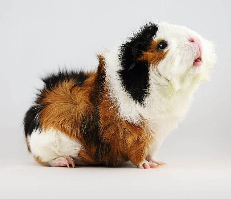 Abyssinian Guinea Pig Facts Lifespan Colors Care Pictures